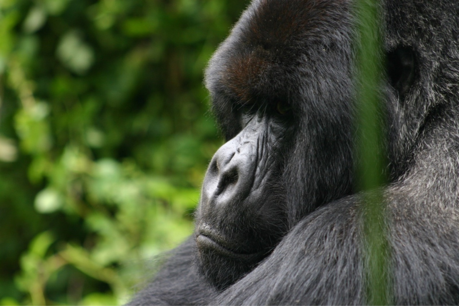 Africa_Silverback_photo_-Per_Jacobsson_scaled